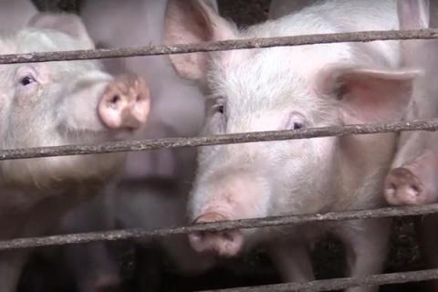 ВСоветском районе ввели чрезвычайное положение из-за африканской чумы свиней